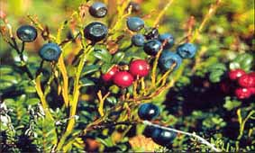kolatravel,kola peninsula,russian lapland,polar circle,polar day,midnight sun,midsummer,spring,summer,autumn,indian summer,berry picking,birds