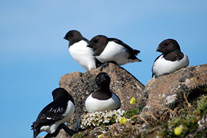 Little-Auk