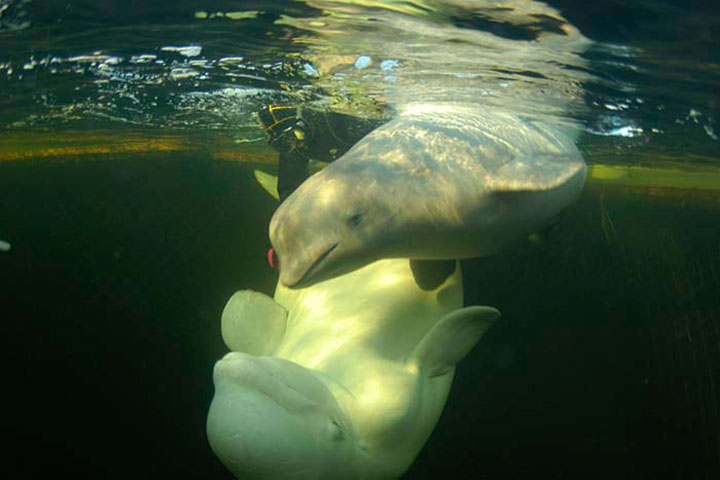 beluga white whales swimming snorkeling diving white sea karelia russia animals kola travel